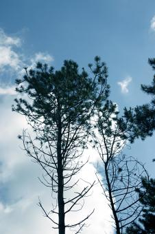 Free Stock Photo of Pine trees against the sky