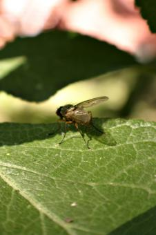 Free Stock Photo of Fly on a leaf