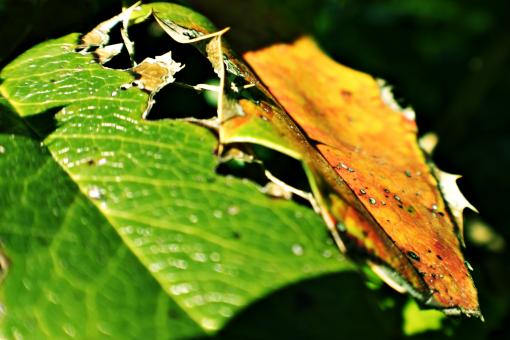 Free Stock Photo of Rotten leaf