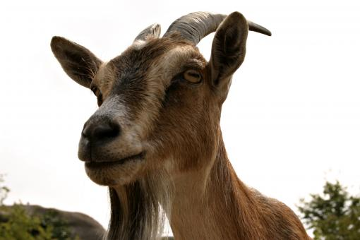 Free Stock Photo of Goat closeup