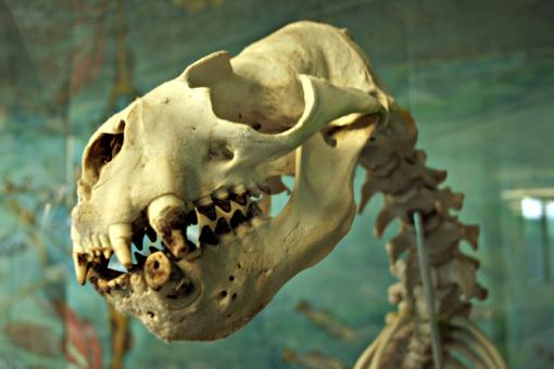 Free Stock Photo of Sealion skeleton