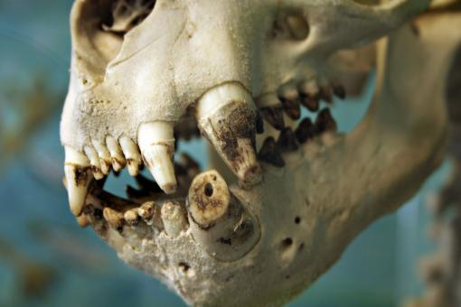 Free Stock Photo of Sealion skull
