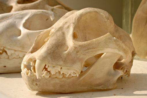 Free Stock Photo of Tiger skull