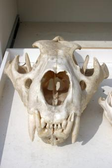 Free Stock Photo of Lion skull