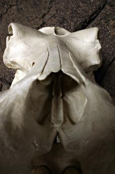 Free Stock Photo of Hippo skull closeup