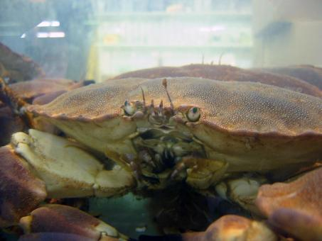 Free Stock Photo of King crab