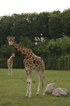 Free Stock Photo of Giraffe