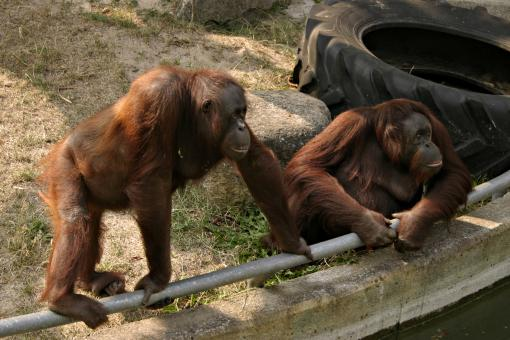 Free Stock Photo of Two orangutans