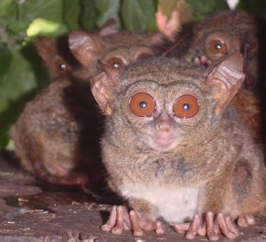 Free Stock Photo of Tarsius Smile