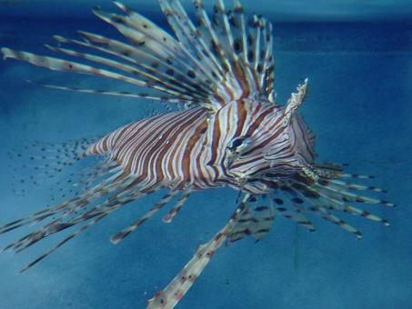 Free Stock Photo of Lionfish