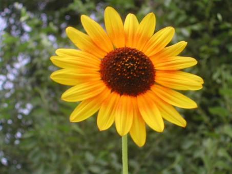 Free Stock Photo of Sun flower