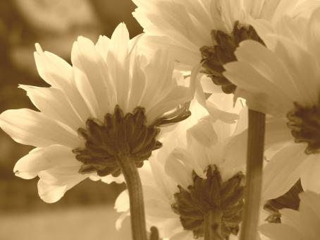 Free Stock Photo of flowers in sepia