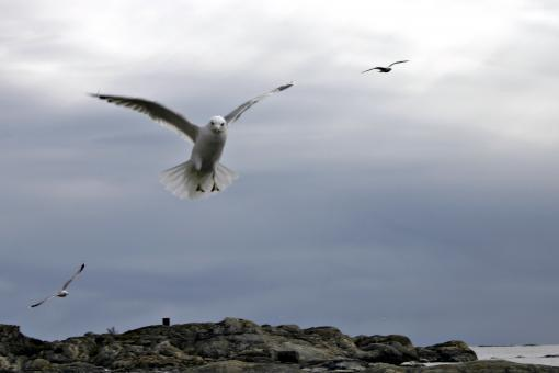Free Stock Photo of Flying Seagull