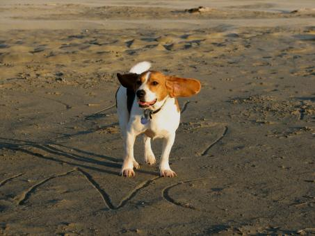Free Stock Photo of Beagle on the beach