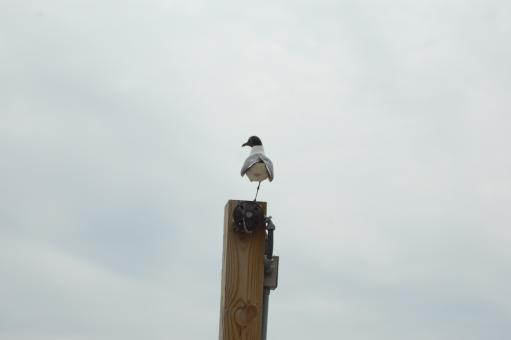 Free Stock Photo of Seagull on Post