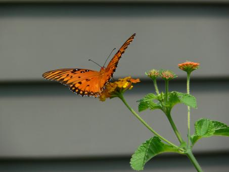 Free Stock Photo of Butterfly in late summer