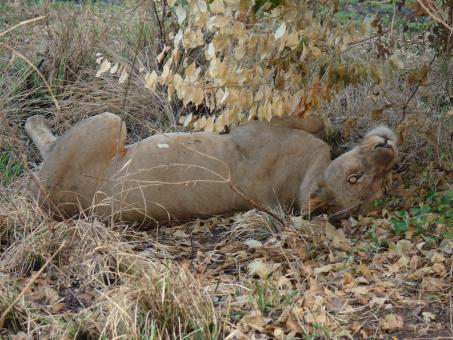 Free Stock Photo of Lioness Rolling
