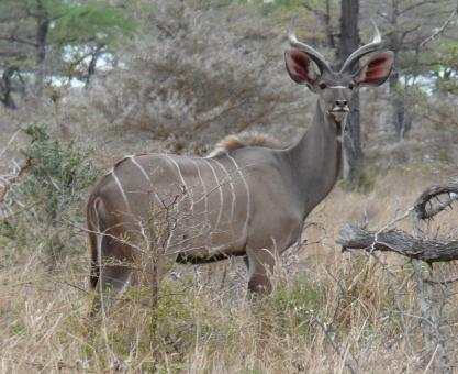 Free Stock Photo of Greater kudu