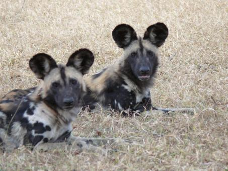 Free Stock Photo of Wild dogs in Africa