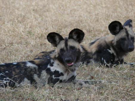 Free Stock Photo of Wild dogs resting