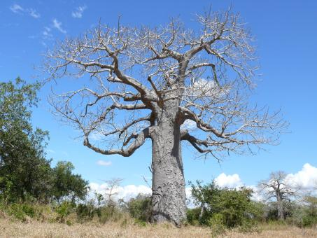 Free Stock Photo of Baobab tree