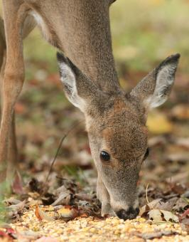 Free Stock Photo of Doe