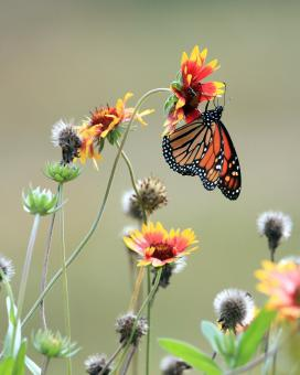 Free Stock Photo of Monarch on the wildflower