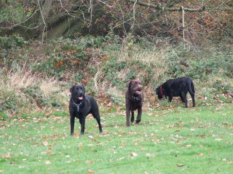 Free Stock Photo of The Labradors
