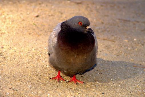 Free Stock Photo of Pigeon standing