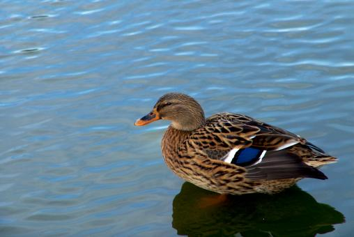 Free Stock Photo of Duck in the water