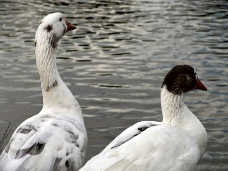 Free Stock Photo of Goose and duck