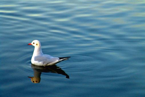 Free Stock Photo of Seagull in a lake