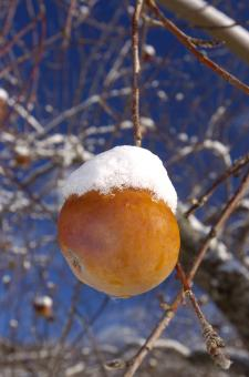 Free Stock Photo of Frozen apple