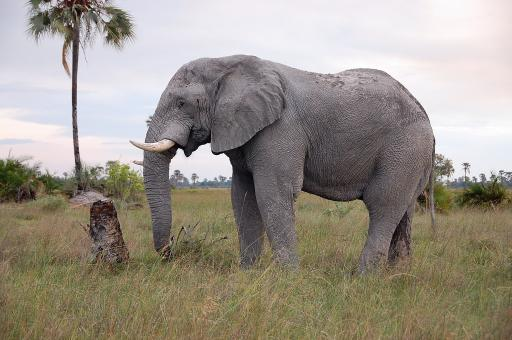 Free Stock Photo of Botswana elephant