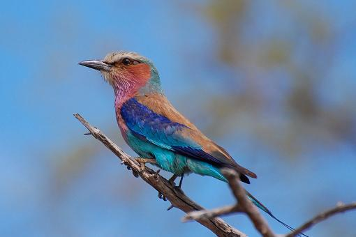 Free Stock Photo of Lilac breasted roller
