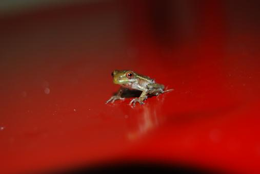Free Stock Photo of Baby Tree Frog