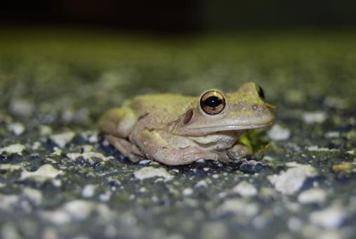Free Stock Photo of Tree Frog