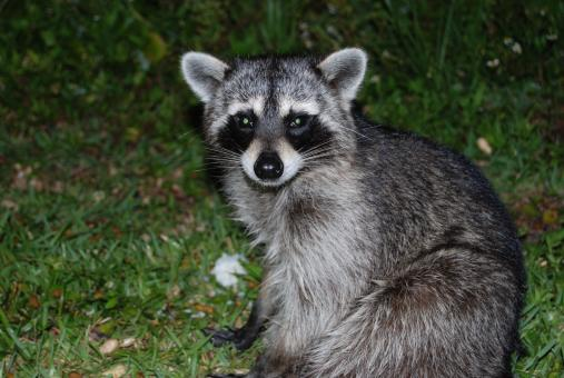 Free Stock Photo of Raccoon