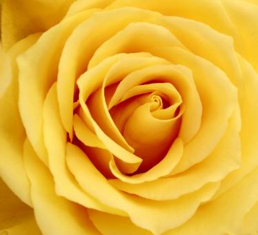 Free Stock Photo of Yellow Rose