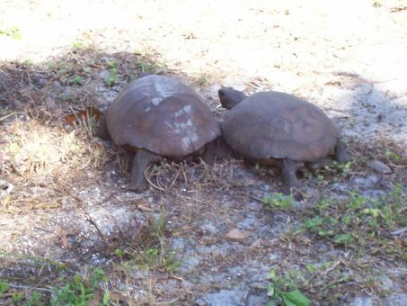 Free Stock Photo of Florida endangered gopher tortoise