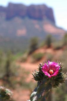 Free Stock Photo of Pink flower in the desert