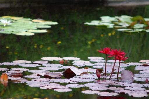 Free Stock Photo of Water lilies