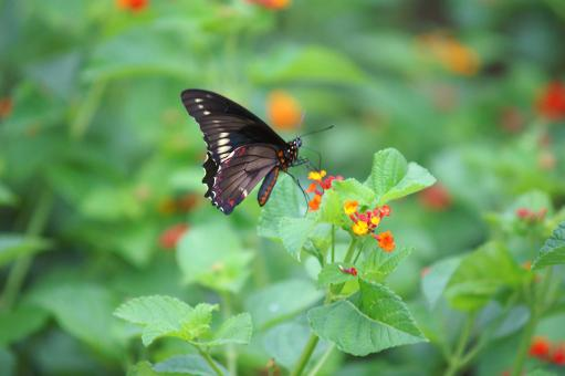 Free Stock Photo of Dark butterfly