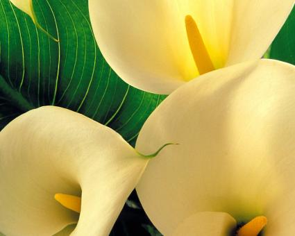 Free Stock Photo of Yellow Calla Lilies