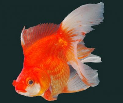 Free Stock Photo of Gold Fish