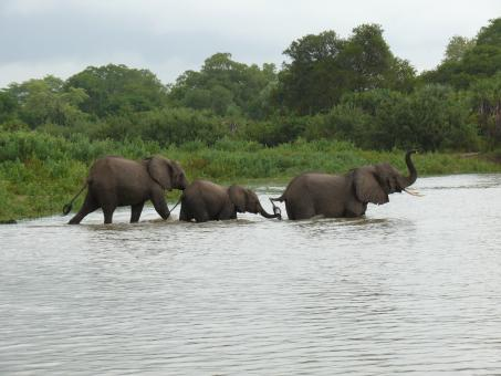 Free Stock Photo of Elephants crossing a river