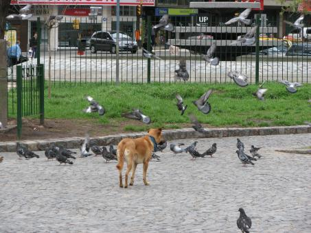 Free Stock Photo of Dog chasing pigeons