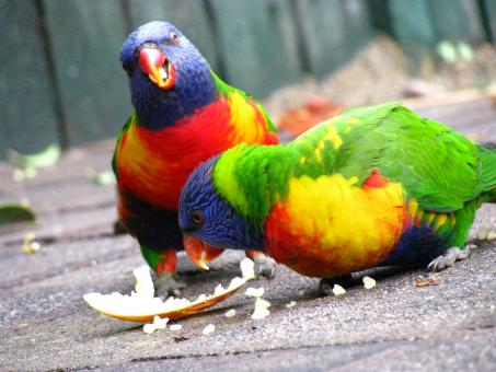 Free Stock Photo of Parrots