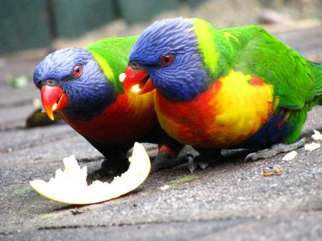 Free Stock Photo of Parrots eating an apple