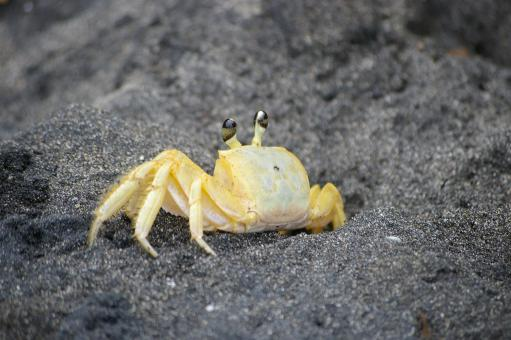 Free Stock Photo of Crab on black beach